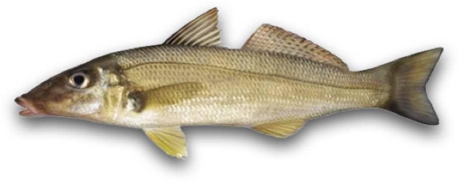 Fishing Reports King George Whiting
