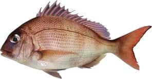 """Juvenile or """"Pinky"""" Snapper"""
